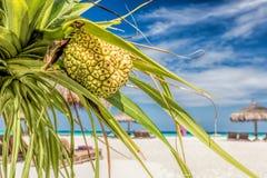 Kokospalm op het strand in de Maldiven, Indische Oceaan Stock Foto's
