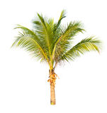 Kokospalm op witte achtergrond wordt geïsoleerd die. Stock Fotografie