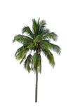 Kokospalm op witte achtergrond wordt geïsoleerd die Stock Afbeelding