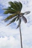 Kokospalm på den Porto de Galinhas stranden Arkivbilder