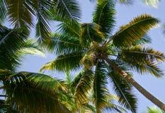 Kokospalm, palm op hemelachtergrond Stock Foto's