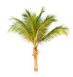 Kokospalm som isoleras på vit bakgrund. Arkivbild