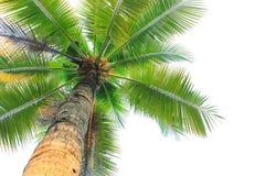 Kokospalm som isoleras på vit bakgrund Arkivfoto