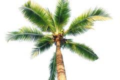 Kokospalm som isoleras på vit bakgrund Royaltyfri Fotografi