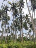Kokospalmaanplanting op Mindoro, Filippijnen stock foto