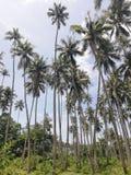 Kokospalmaanplanting op Mindoro, Filippijnen stock foto's