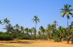 Kokospalmbosje in Goa, India Stock Afbeelding