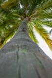 Kokospalmbovenkant Royalty-vrije Stock Afbeeldingen