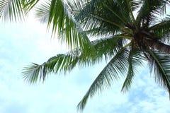 Kokospalmen Arkivbilder