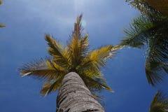 Kokospalmen Stock Fotografie