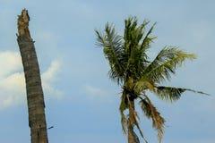 Kokospalmen in de blauwe hemel royalty-vrije stock afbeelding