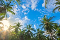 Kokospalmen en het licht van de Zon stock foto