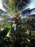 Kokospalmen i trät med solkyssen royaltyfria foton
