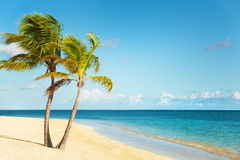 Kokospalmen onder blauwe Caraïbische hemel Stock Fotografie