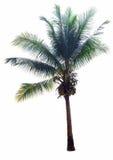 kokospalmen op witte achtergrond, Kroon van een palm van coconu Royalty-vrije Stock Foto's