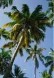 Kokospalmen, palmen op hemelachtergrond Royalty-vrije Stock Foto