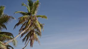 Kokospalmen in Seychellen stock footage