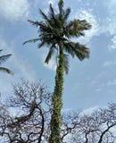 Kokospalmen som omgavs av det torra trädet &, slogg in med klättrare arkivbilder