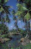 Kokospalmen in Trinidad Royalty-vrije Stock Afbeelding