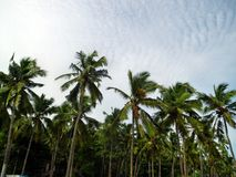 Kokospalmer Royaltyfri Bild