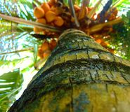 Kokospalmer Fotografering för Bildbyråer