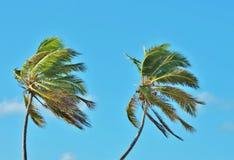 Kokospalmer Arkivfoto