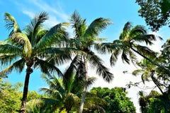 Kokospalmer i Key West Florida Arkivfoton
