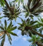 Kokospalmer II Arkivfoton