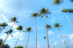 Kokospalmer på den Lagoi fjärden, Bintan, Indonesien Arkivfoto