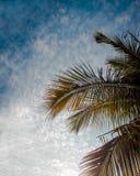 Kokospalmfilial med blå himmel Arkivbilder