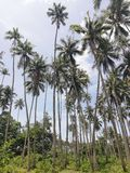 Kokospalmkoloni på Mindoro, Filippinerna arkivfoton