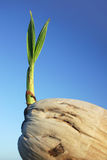 kokosy 2 sadzonka obrazy stock