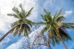 Koks drzewka palmowe Zdjęcia Stock