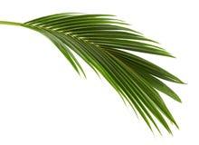 Koks liście lub Kokosowi fronds, Zielony plama opuszczają na białym tle z ścinek ścieżką, Tropikalny ulistnienie odizolowywający obraz royalty free