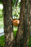 Koks między drzewem, Lumpini park, Bangkok Fotografia Stock