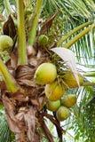 Koks na drzewie Obrazy Royalty Free