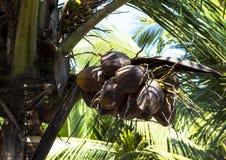 Koks na drzewku palmowym Obrazy Stock
