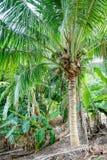 Koks na drzewku palmowym Fotografia Stock