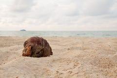 Koks na plaży w chmurnym dniu Zdjęcie Royalty Free