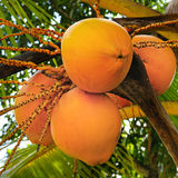 Koks na tle palmowy liść Fotografia Stock