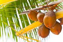 koksu drzewko palmowe zdjęcia royalty free
