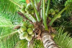 Koksu drzewko palmowe Zdjęcia Stock