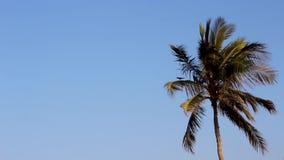 Koksu lub daty drzewny chwianie, oceanów wiatrowi podmuchowi ciężcy drzewa tanczy pięknego ruch tropikalni drzewa Oman plaża zdjęcie wideo