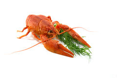 Kokt Crawfish Royaltyfri Foto