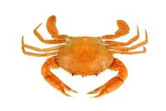 kokt krabba Royaltyfri Fotografi