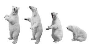 Kolaż niedźwiedź polarny w różnorodnych pozach na białym tle zdjęcia royalty free