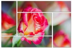 Kolaż od czerepów róża kwiat, makro-, zakończenie tła tła projektu karty kwiecista ilustracja Fotografia Stock