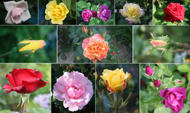 kolaż róże Zdjęcia Royalty Free