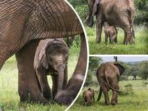 Kolaż słonie od Tanzania - podróżuje tło (mój fotografia Obrazy Stock