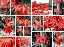 kolażu klonu czerwień Fotografia Royalty Free